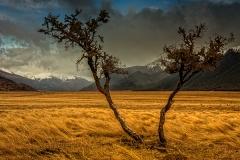 Wind swept Matagouri