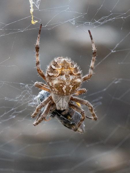 Linley Earnshaw - Garden Orb Web spider