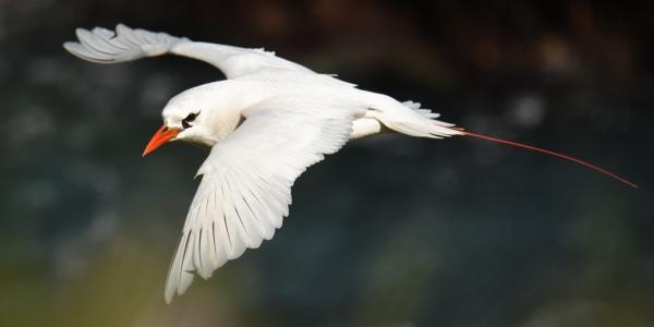 Pol Syrett: Red-tailed Tropic Bird