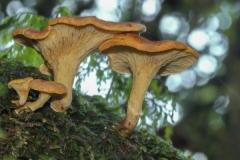 Ken Muscroft-Taylor - West Coast Fungi