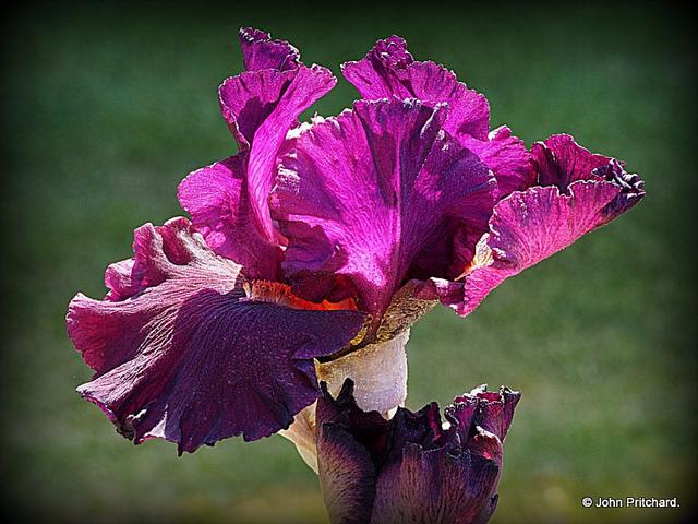 John Pritchard: Iris