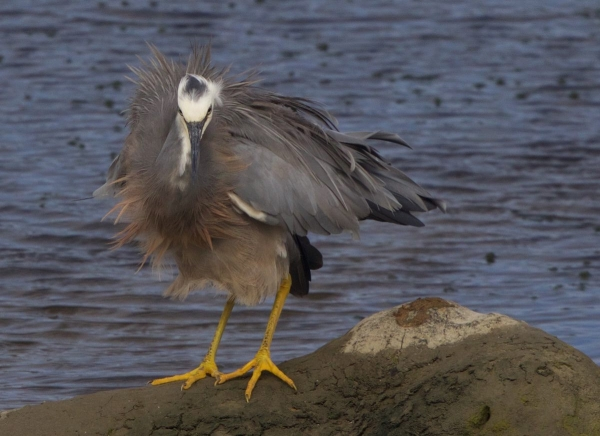 Murry Cave: White-faced Heron