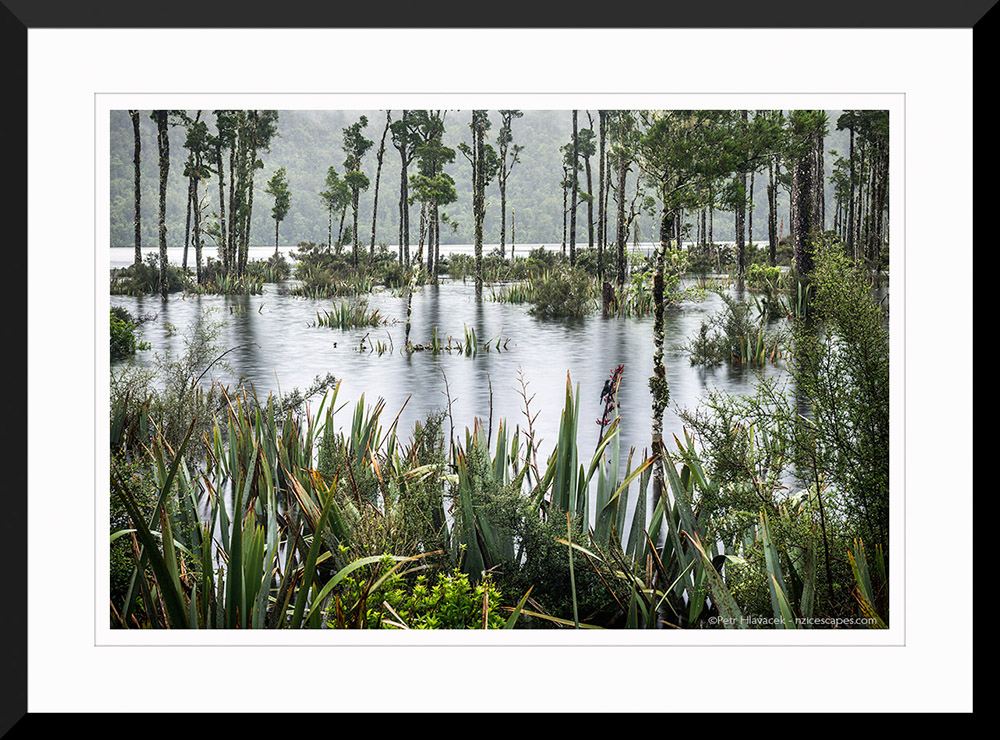 Kahikatea trees in flooded Lake Wahapo in rain with Tui bird, Westland Tai Poutini National Park, West Coast, UNESCO World Heritage Area, South Island, New Zealand, NZ