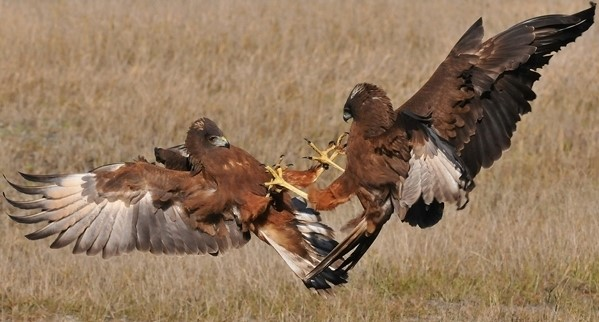 Bevan Tulett: Hawks