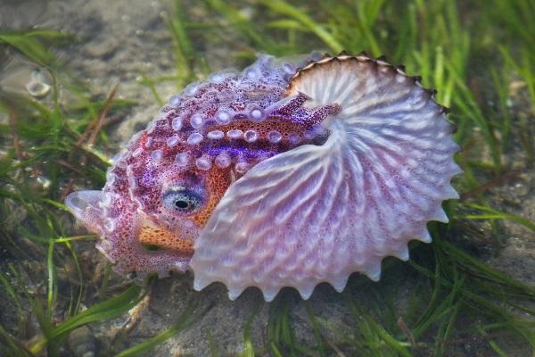Paper Nautilus - Judy Stokes - Auckland Photographic Society