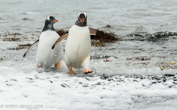 Gentoo penguins. Chasing is often seen and will result in the chick being fed