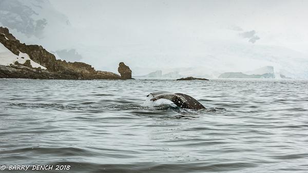 Humpback diving