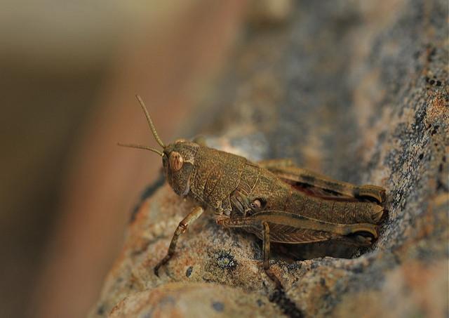 Jane Coulter: Grasshopper